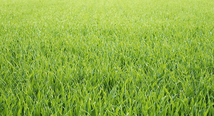 青汁に使われる大麦若葉